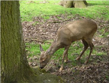 Boi-de-Maroeuil-deer