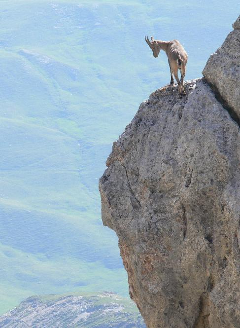 Mountain goat France